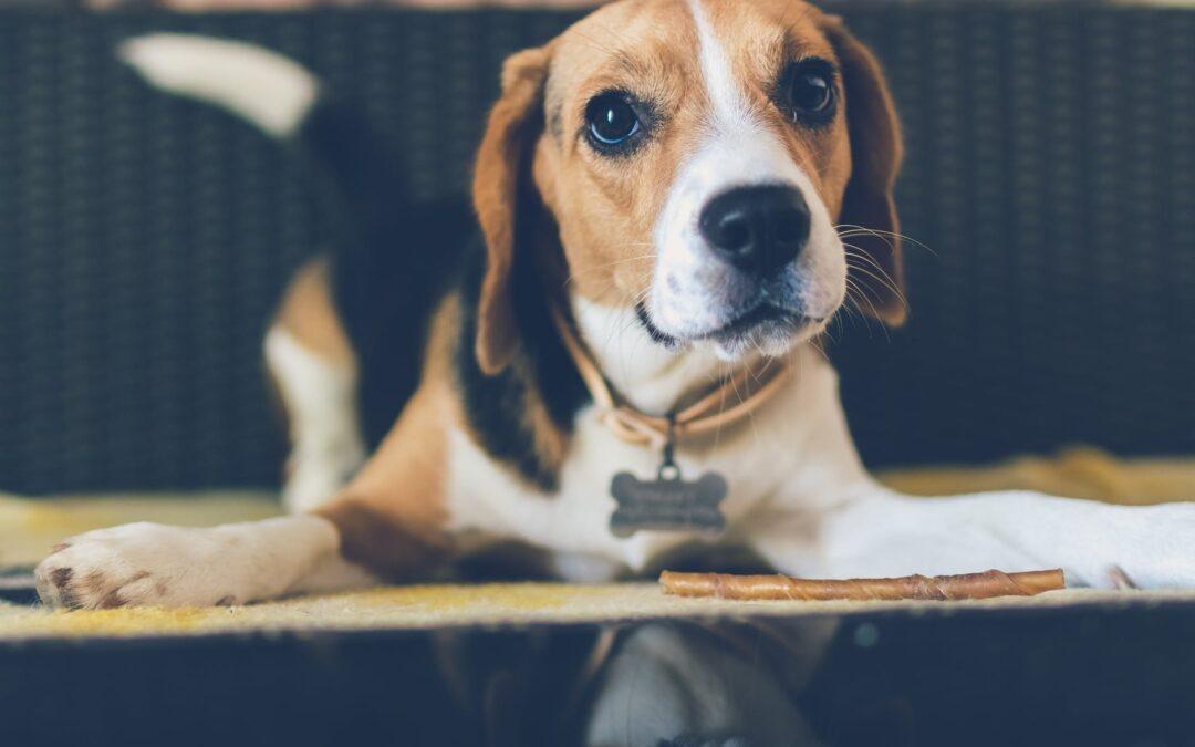 O que fazer quando o cão não quer mais comer ração?
