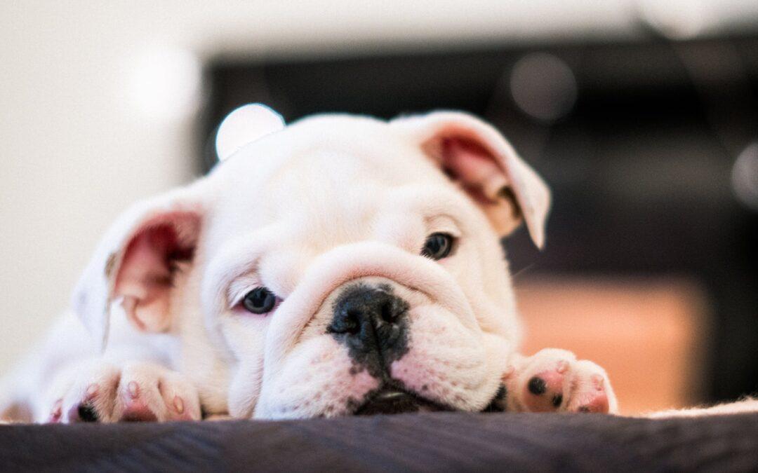 Qual a doença que mais mata os cães?