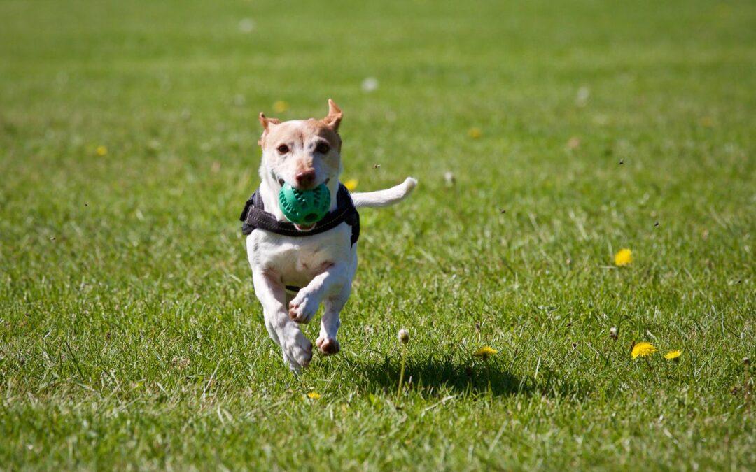 Como o seu cão gosta de brincar?